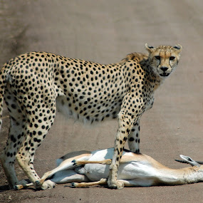 Cheetah with Kill by Rajat Sethi - Animals Other Mammals (  )
