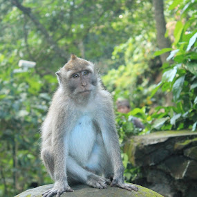 Monkey King by Anita Elers-Cooper - Animals Other Mammals ( monkey forest ubud )
