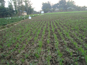Photo: Wheat sown with SWI techniques  at  28 days after sowing.  Lalbojhi, Kailali, Nepal. 2011.  [Photo provided by RB Khadka]