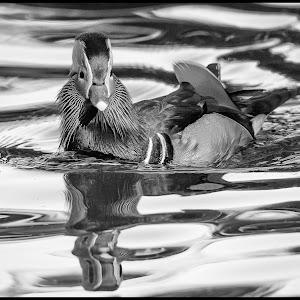 Mandarin Duck-72.jpg