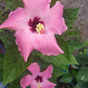 Gumamela or Hibiscus (Pink and Red)