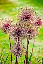 Photo: http://www.redbubble.com/people/inspiraimage/works/13828535-allium-flowers