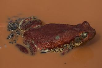 Photo: A red toad with eggs; Um sapo-vermelho com os ovos.