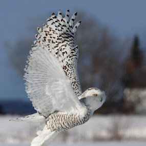 Snowy Owl by Mircea Costina - Animals Birds ( bird, wild, scandiacus, canada, owl, snowy, wildlife, bubo, birds )
