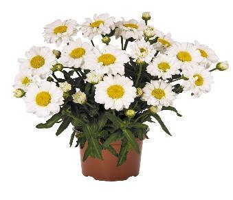Leucanthemum Sweet Daisy™ Jane - Products - Dümmen Orange