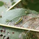 Tenthredinid Sawfly (larvae)
