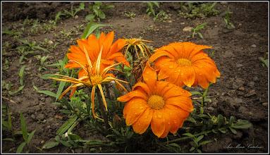 Photo: Floarea comoară, Gazania-margaretă (Gazania spp) din Turda, Str. Salinelor, Nr.4 - 2019.06.11
