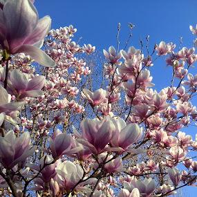 Parfum  de  primavara ... Magnolii by Corali Reciful - Flowers Tree Blossoms