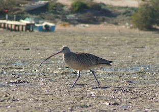 Photo: Long-billed Curlew