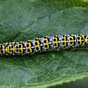 Mullein Caterpillar