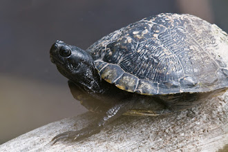 Photo: Turtle sunning itself on log; Bailey's tract
