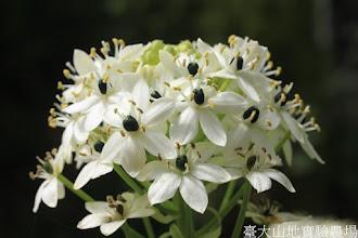 Photo: 拍攝地點: 梅峰-溫帶花卉區 拍攝植物: 伯利恆之星 拍攝日期: 2015_10_05_FY