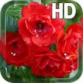 Red Roses Live Wallpaper