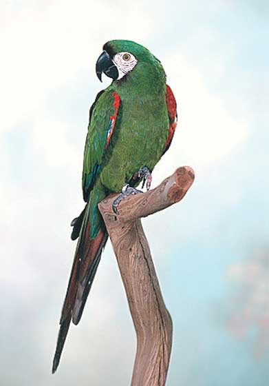 Like most mini macaws, this severe macaw can be hard to find, because breeders are often few in numbers