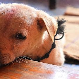 Sleepy by Senthil Kumar - Animals - Dogs Puppies ( #puppuppy#dog#cute#animals )