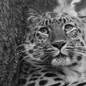b/w Amur Leopard by Chris Boulton - Animals Other Mammals