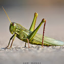Citrus Locust / Large Grasshopper