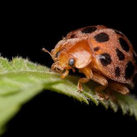 Lady Bug by Jeremy Mendoza - Animals Insects & Spiders ( macro, bug, insect, ladybug, reverselensmacro,  )