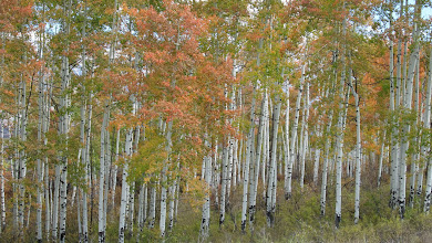 Photo: The roads wind through the largest contiguous aspen forest in the United States.