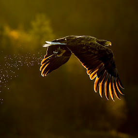 White-tailed eagle flying into sunset by Dennis Hallberg - Animals Birds ( bird, white-tailed eagle, bird of prey, eagle, sunset, sea eagle,  )