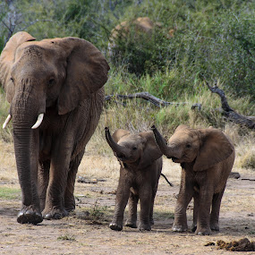 Is it safe Mom? by Arend Van der Walt - Animals Other Mammals ( two, pwcbabyanimals, smelling, elephant, trunks, baby, madikwe )