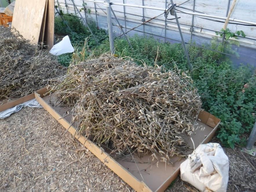 羽生在来は育苗ハウスで乾燥することに