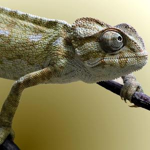 1-new common chameleon 04.jpg