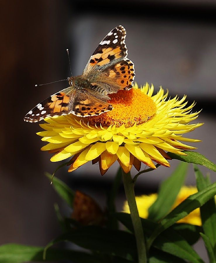 A lucky shot by Giovanna Pagliai - Flowers Single Flower ( nature's beauty., butterfly, sicilian, life, bright, yellow )