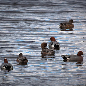 by Joe Lawrence - Animals Birds