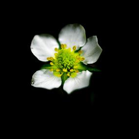 Strawberry flower by Elaine Delworth - Flowers Single Flower ( plant, flora, single flower, petals, flower )