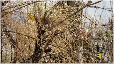 Photo: Cătină rosie - (Tamarix ramosissima) si  (Hippophaë rhamnoides L.) - de pe Calea Victoriei, Nr.5 - 2016.11.25