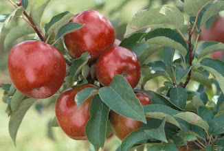 Photo: 'Regent' apple, released by the University of Minnesota, Minnesota  Agricultural Experiment Station in 1964.