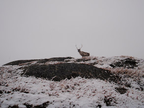 Photo: Greenland - Curious caribou on Day 4