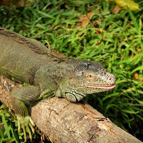 iguana by Sankar GM - Animals Reptiles ( lizard, bushes, green, iguana, reptile )