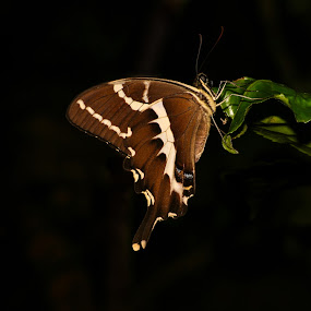 Butterfly at night by Sam W - Animals Insects & Spiders ( butterfly, night, malagasy, madagascar, black )