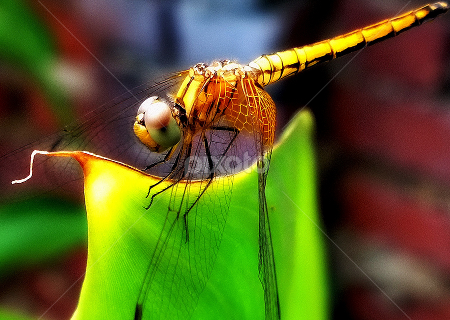 Dragonfly by Tupu Kuismin - Animals Insects & Spiders