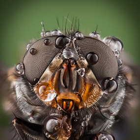 fly eye by Kutub Macro-man - Animals Insects & Spiders ( macro, fly, house fly, beauty, extreme close up )