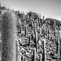 cactus! di