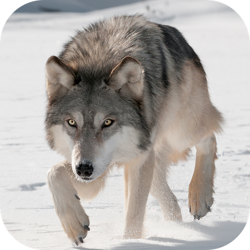 Wild Wolf Attack Simulator 3D 模擬 App LOGO-硬是要APP