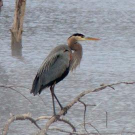 Herrin Pose by Jennifer  Loper  - Animals Birds ( foggy, arkansas, winter, lake, branch, herrin )