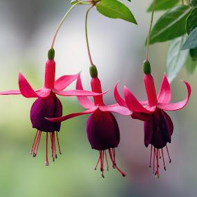 Küpeli by Veli Toluay - Flowers Flowers in the Wild ( çiçekler, çiçek, küpeli,  )