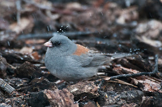 Photo: Dark-eyed junco with snow bouncing off its head