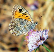 Photo: Papillon Satyre ou Mégère (Lasiommata genera). Je n'ai pas identifié la fleur...
