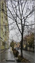 Photo: Arțar, Paltin de câmp (Acer platanoides) - de pe Str. Macilor - 2017.02.09