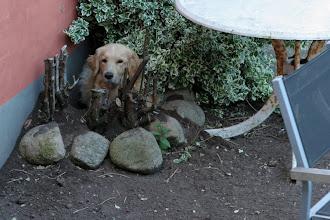 Photo: Maicy havde bygget jordhule til hende og hvalpene i haven