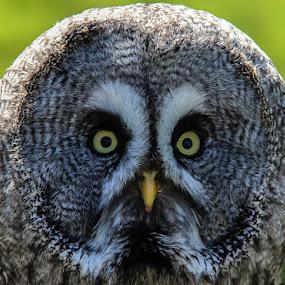 Great grey owl by Andrew Lancaster - Animals Birds ( bird, predator, owl, great grey, feathers,  )