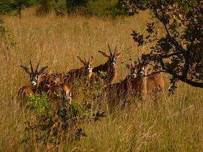 Photo: Antilopa Roan - Kafue NP / Roan Antelope - Kafue NP