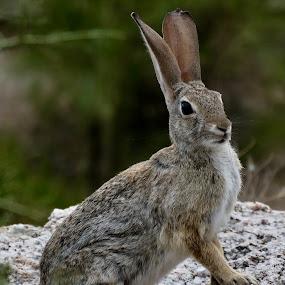 Jackrabbit by Lyn Simuns - Animals Other Mammals ( rabbit )