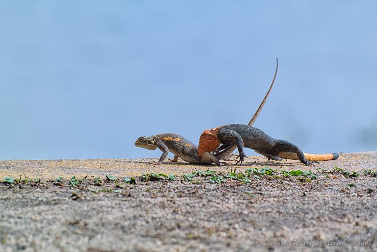 Photo: Lizard love...