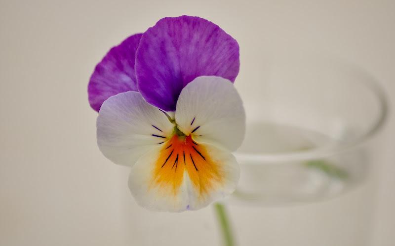 Una viola non fa primavera di Concetta Caracciolo